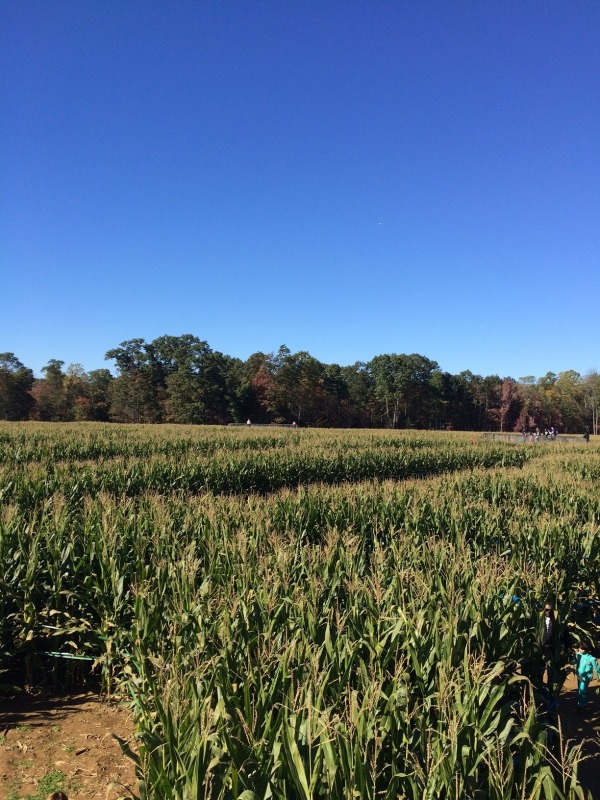corn maze, fall festival, fun with kids